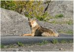 Sunning Coyote by Richard Spencer